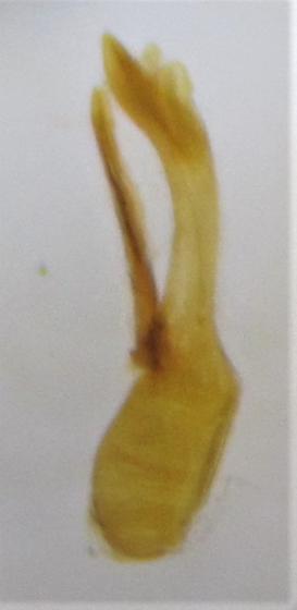Erichsonius rosellus - male