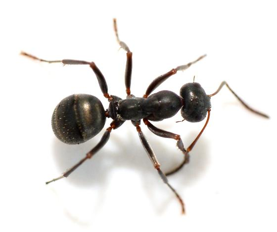 Which Camponotus - Formica subsericea