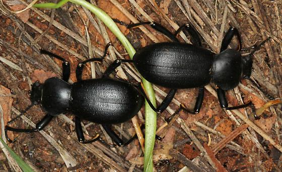 male and female darkling beetles - Coelocnemis californica - male - female