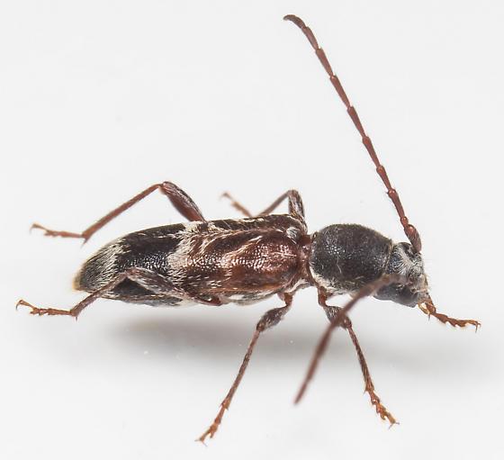 Beetle - Microclytus compressicollis