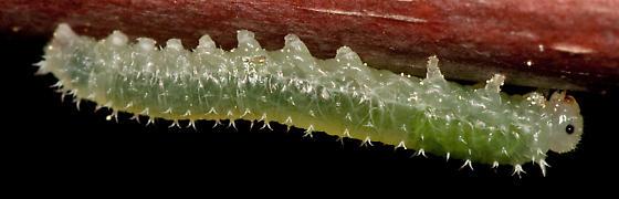caterpillar on nut tree - Periclista