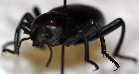 Darkling Beetle - Eleodes dentipes