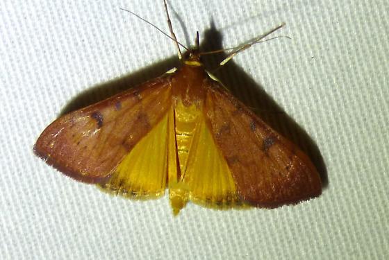 Uresiphita reversalis - Uresiphita reversalis