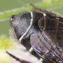 Leafcutter bee  - Megachile pruina - female