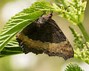 milbert's tortoiseshell - Aglais milberti - female