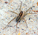 What kind of wolf spider is this?