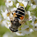 Fly - Eristalis arbustorum - female