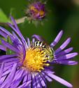 Metallic Green Bee (Agapostemon ?) male ? - Agapostemon