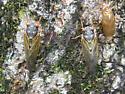 Cicadas and Shell - Magicicada septendecim