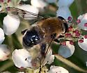 Bee mimic (Mallota) - Mallota mississippensis - female