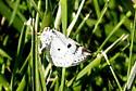 Bluish Spring Moth - Hodges#6666 - Lomographa semiclarata