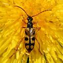 Xestoleptura species - how about vancouveri? - Xestoleptura crassipes