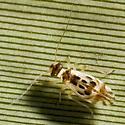 Psocoptera - Graphopsocus cruciatus