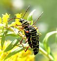Locust Borer - Megacyllene robiniae - male - female