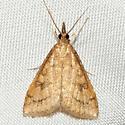 Celery Leaftier Moth - Hodges #5079 - Udea rubigalis