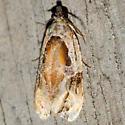 Broken-lined Zomaria Moth - Hodges #2750 - Zomaria interruptolineana