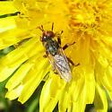 Diptera 6-05-10 01b - Zodion