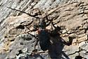 Cerambycid beetle - Callidiellum rufipenne