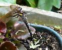 cool dragonfly - Cordulegaster maculata
