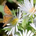 MN Sep - Lycaena helloides - male