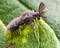 Coleoptera. Ripiphoridae. Ripiphorus zeschii? - Ripiphorus - male