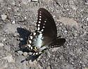 Swallowtail - Papilio troilus