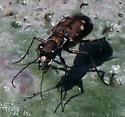 Ocellated Tiger Beetle - Cicindelidia ocellata