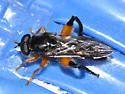 unk insect - Chalcosyrphus