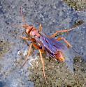 wasp - Tachypompilus unicolor - female