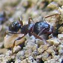 Pavement Ant - Colony in sidewalk - Tetramorium species-e