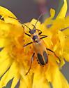 Chauliognathus pensylvanicus