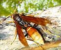 Unknown Wasp - Polistes comanchus - female