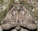 double-lined prominent - Lochmaeus bilineata