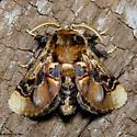 Palaeophobetron perornata - Hodges #4651  - Paleophobetron perornata - male