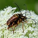 Banded Longhorn - Typocerus velutinus - male - female