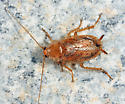 Spotted Mediterranean Cockroach - Ectobius lapponicus