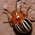 Leptinotarsa juncta (False Potato Beetle) ? - Leptinotarsa juncta