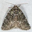 Cryphia Moth - Cryphia cuerva