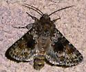 Noctuid? - Hecatera dysodea - female