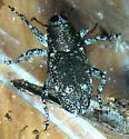 Weevil - Cylindrocopturus longulus