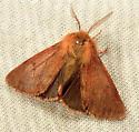 811 Spilosoma pteridis - Brown Tiger Moth 8139 - Spilosoma pteridis - male
