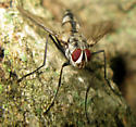 Fly (Tachinidae) - Zelia vertebrata - male
