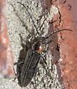 Hairy, black and orange longhorned beetle - Stenosphenus notatus