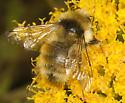 bumblebee sp to identify - Bombus sylvicola