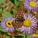 Euphydryas sp. - Euphydryas anicia - male