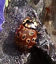 Ladybird beetle with ringed spots - Anatis mali