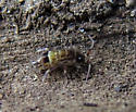 Elongate-bodied Springtail - Orchesella cincta