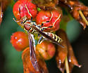 Paper-wasp - Polistes exclamans