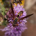 Polistes fuscatus - Northern Paper Wasp? - Polistes fuscatus - female
