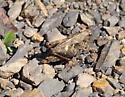 Grasshopper brown - Tettigidea - female